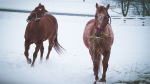 Stephens horses playing in snow